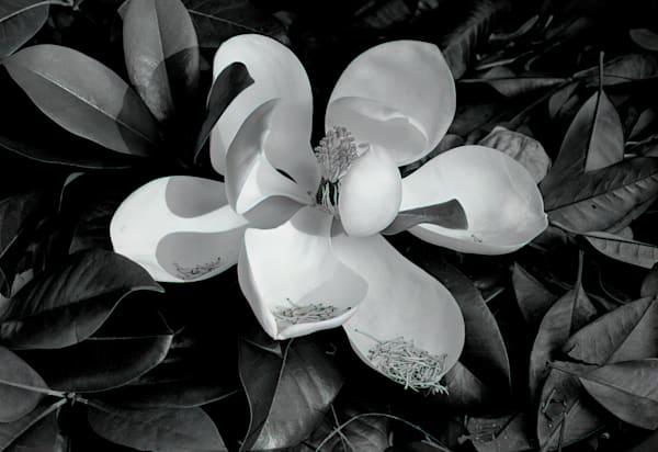 Magnolia Photography Art   Ed Sancious - Stillness In Change