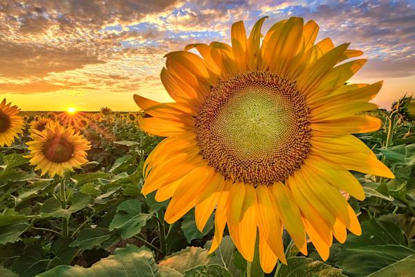 Wickham Sunflower Blend