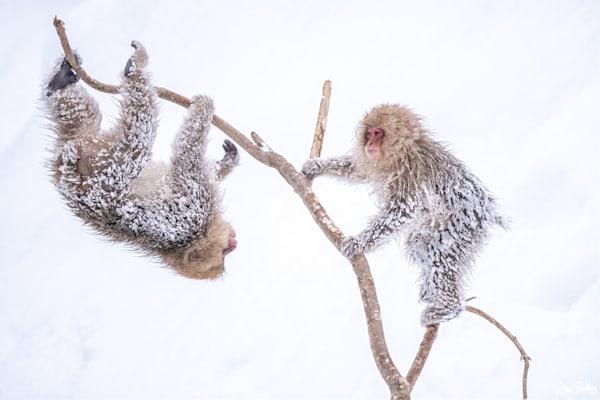 Snow monkeys after a heavy snowstorm in Jigokudani, Japan.