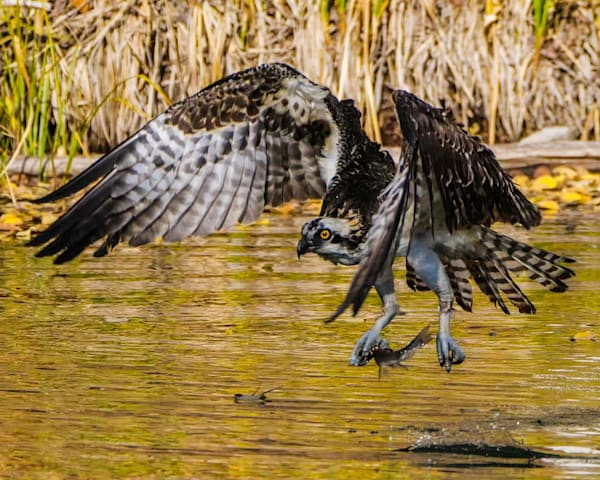 I spent several afternoons watching this osprey at a lake near Telluride with beautiful fall colors. She spent most of her time sitting in the trees, with periodic dives to fish in the lake. This was one of the best shots of her taking off with a fi