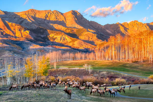A large herd of elk, about fifty or so, on the golf course in Mountain Village, Colorado, shortly before sunset.
