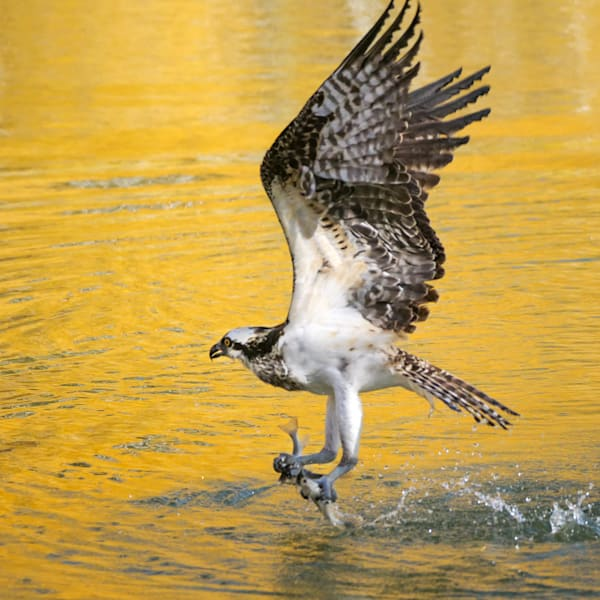 I spent several afternoons watching this osprey at a lake near Telluride with beautiful fall colors. She spent most of her time sitting in the trees, with periodic dives to fish in the lake. On this attempt she caught two fish, one with each foot!