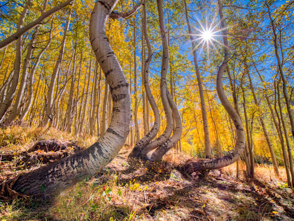 "I have visited these ""dancing aspen"" trees near Telluride a number of times since discovering their location in 2019, and this is my favorite image of them so far."