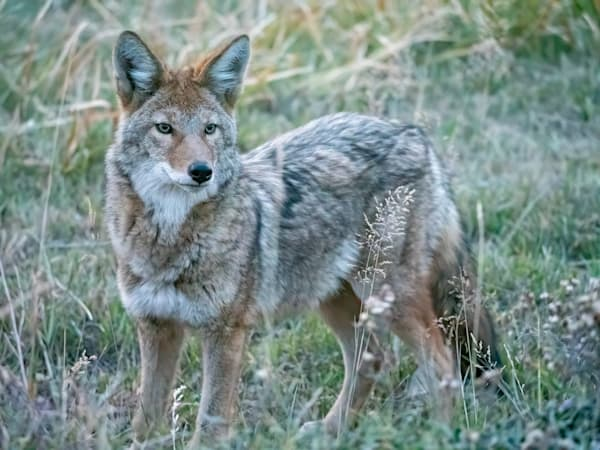 We were driving to photograph the sunrise and it was still very dark when this coyote ran across the road in front of us and paused briefly near our car. I was impressed with the image quality given that the picture was taken at ISO 20000.