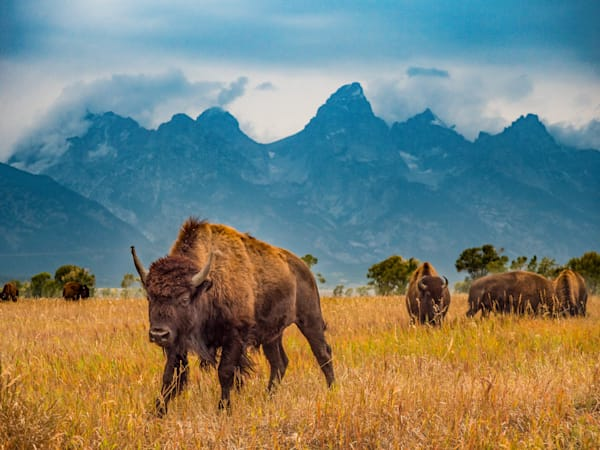 Bison in front of the Grand Tetons. Taken safely from inside a car!