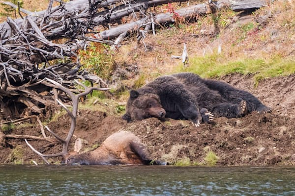 This large grizzly bear killed a big bull elk, and buried its carcass and guarded it closely, including sleeping on top of it, to prevent other animals from stealing its food!