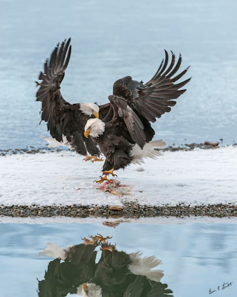 Winter Eagle Reflection Art | Alaska Wild Bear Photography
