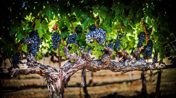 Grapes On The Vine Ii Photography Art | Lance Haynes