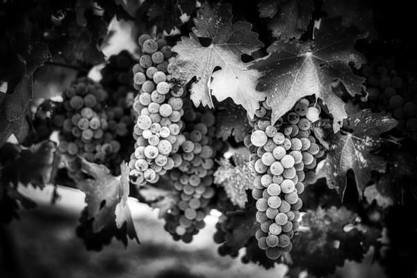 Grapes On The Vine Bw Photography Art | Lance Haynes