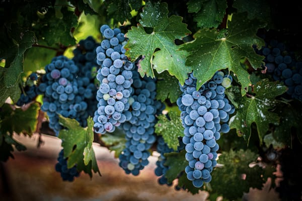 Grapes On The Vine Photography Art | Lance Haynes
