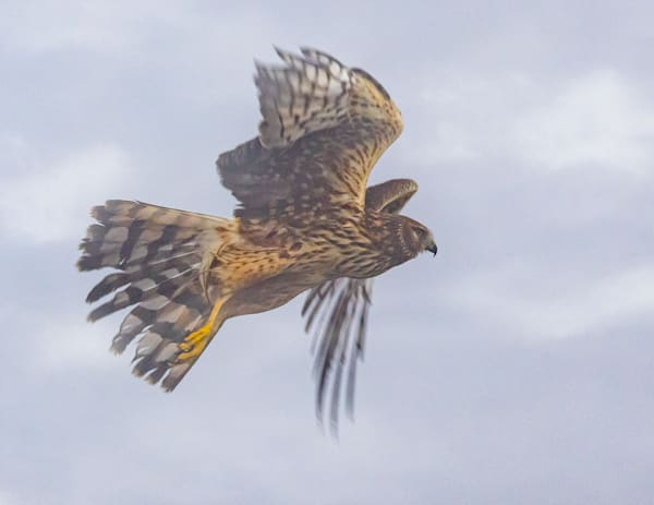 Northern Harrier In Fog Photography Art | Charlotte Gibb Photography