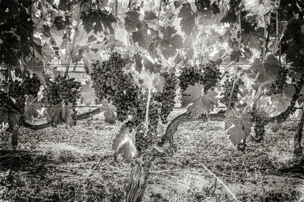 Grapes In Sunlight Bw Photography Art | Lance Haynes
