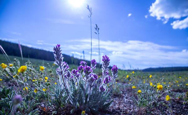 Colorado Wildflowers Fine Art Photography by Todd Breitling ToddBreitlingArt.com