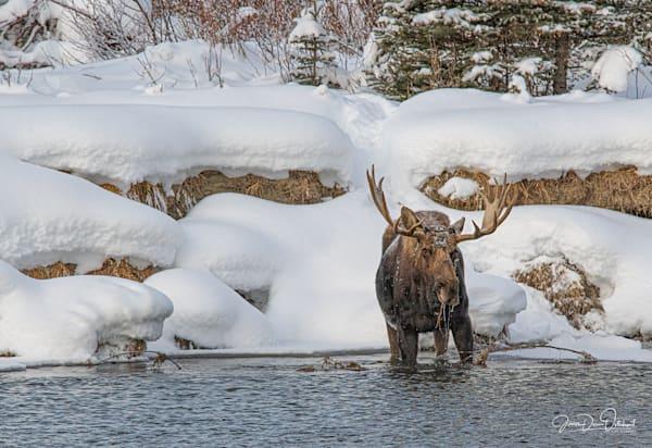 Pacific Creek Moose 16 X24 6538 Photography Art | Swan Valley Photo