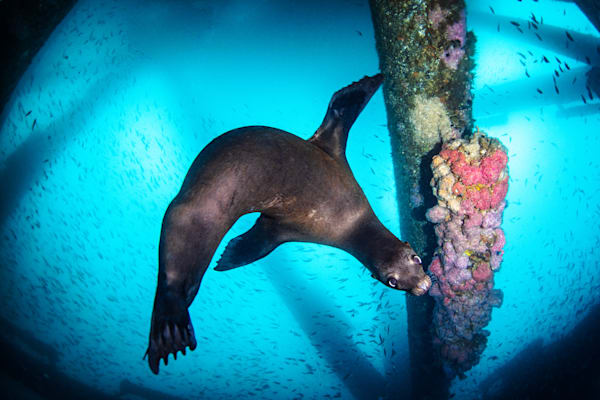 Sea Lion and Baitfish is a marine photograph taken under water and available for sale as a fine art print.