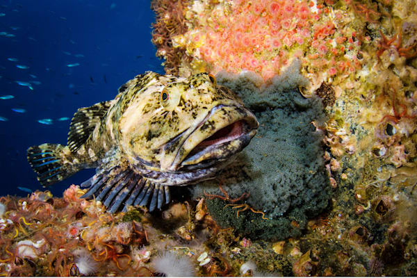 Nesting Cabazon is an underwater photograph available as fine art for sale.