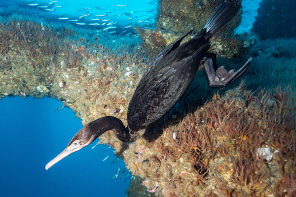 Cormorant Fishing is a photograph of a bird underwater and is available as a fine art print for sale.