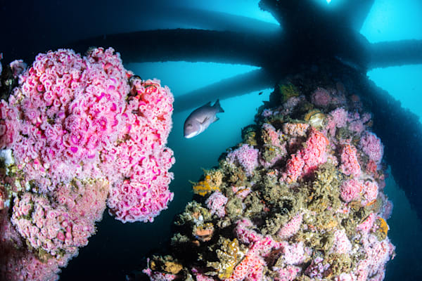 Cup Coral and Oil Rigs is a fine art photograph available for sale.