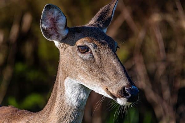 Deer Profile Photography Art | kramkranphoto