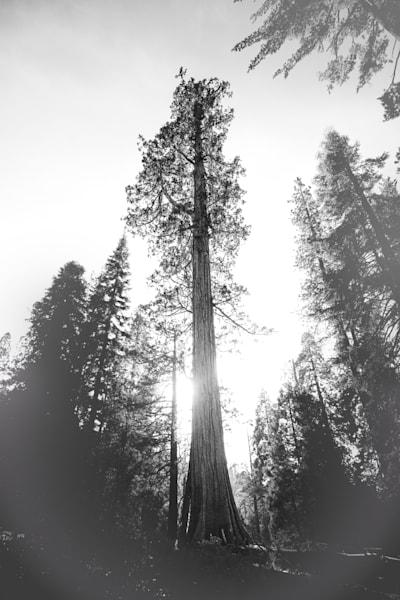 Giant Sequoia Photography Art | Sydney Croasmun Photography