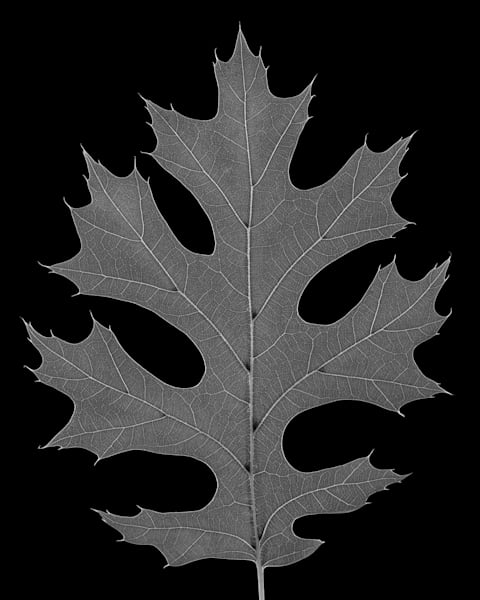 Oak Leaf 2002 Photography Art | Rick Gardner Photography