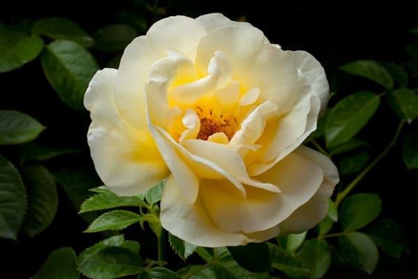 White Rose 2 Photography Art | Rick Gardner Photography