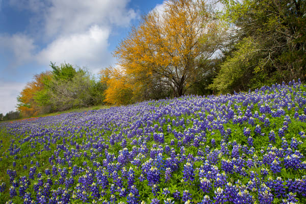 Bluebonnets And Huisache Trees Photography Art   Rick Gardner Photography