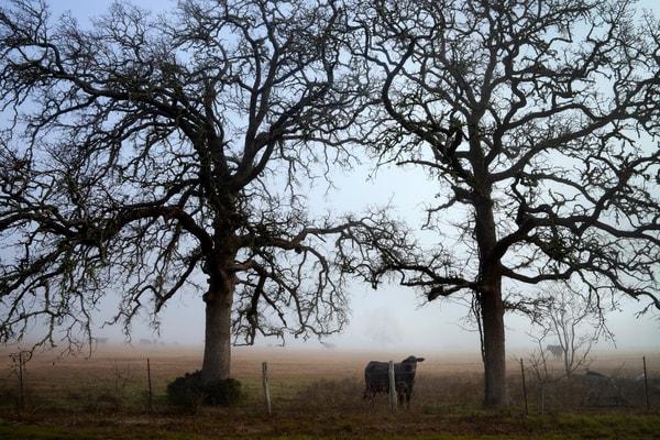Curious Cow, Snook, Texas Photography Art   Rick Gardner Photography