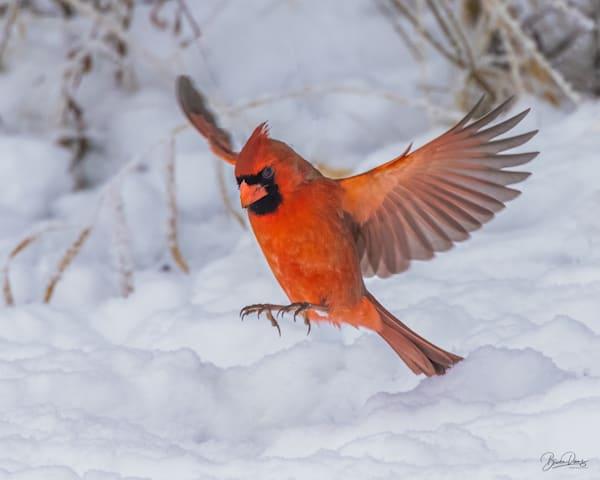 Soft Landing Cardinal