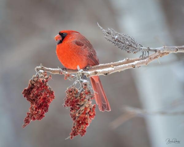 Cardinal and sumac berries