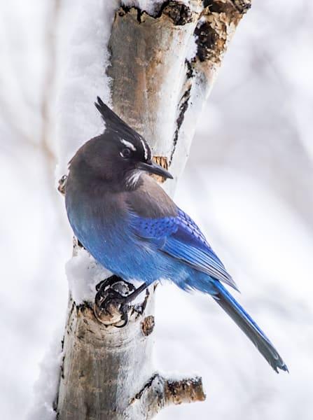 Stellar Blue Jay Visiting Mountain Window Photography Art | Colorado Born Images