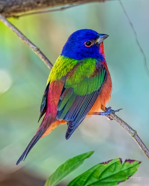 The Perfect Painted Bunting