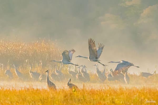 Sandhill Cranes Take Flight