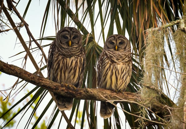 The Barred Owl Couple