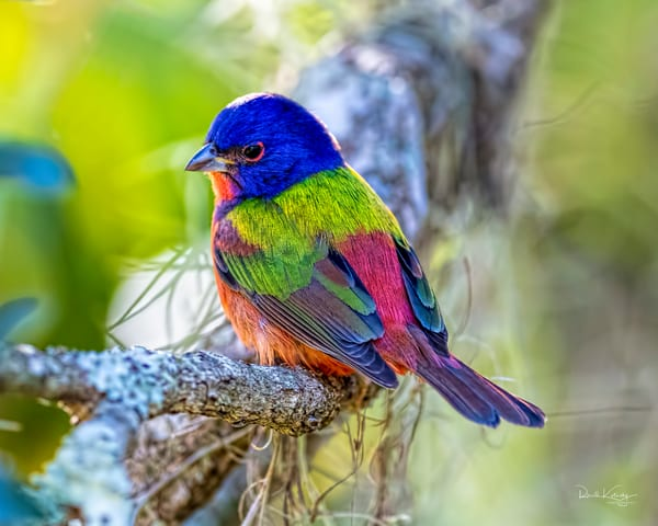The Palette of The  Painted Bunting