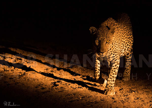 Leopard Beast Of The Night   Limited Edition Photography Art | Rob Shanahan Photography