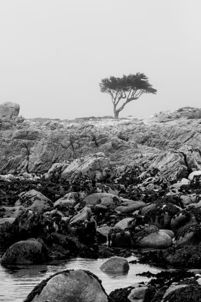 Asilomar Tree Art | James Alfred Friesen