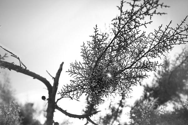 California Juniper 1 Photography Art | Sydney Croasmun Photography