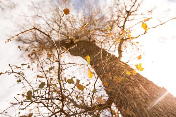 Blue Oak Looking Up Photography Art | Sydney Croasmun Photography