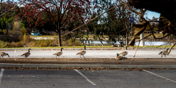 Geese On Parade Photography Art | Ron Olcott Photography