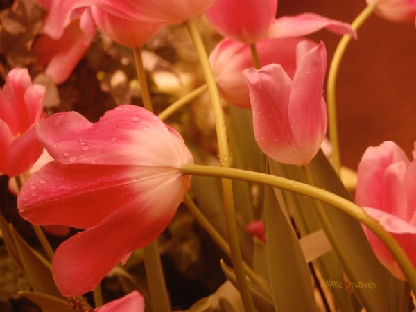 Coral Colored Tulips Fine Art Photo by Marie Stephens Art
