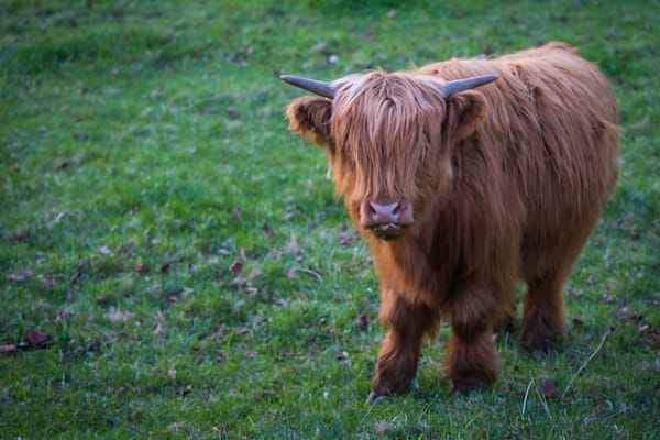 Highland Cow | Nose Licker | Nathan Larson Photography