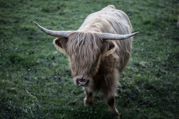 Highland Cow | No Bull | Farm and Pasture Photography by Nathan Larson Photography