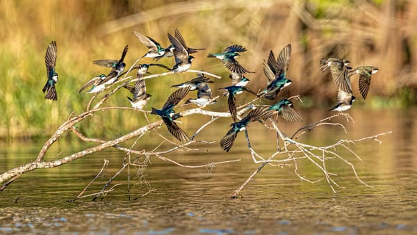 Tree Swallows of the Lake