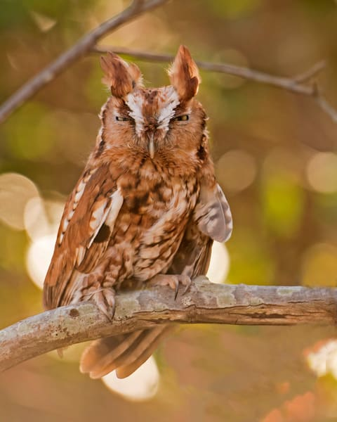 Screech owl sleepy bird-or-prey