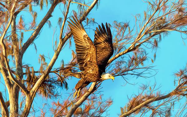 Bald Eagles of the Golden Morning Light