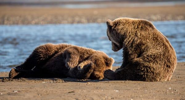 Alaskan Brown Bear Cubs on The Beach Wall Art