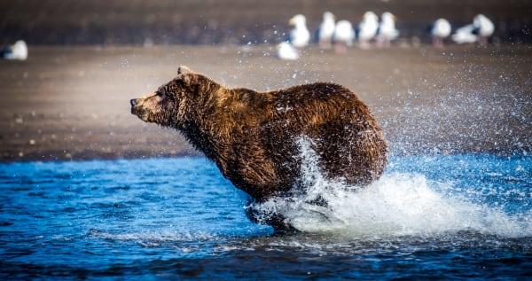 Booking It Alaskan Brown Bear Fishing on the Beach