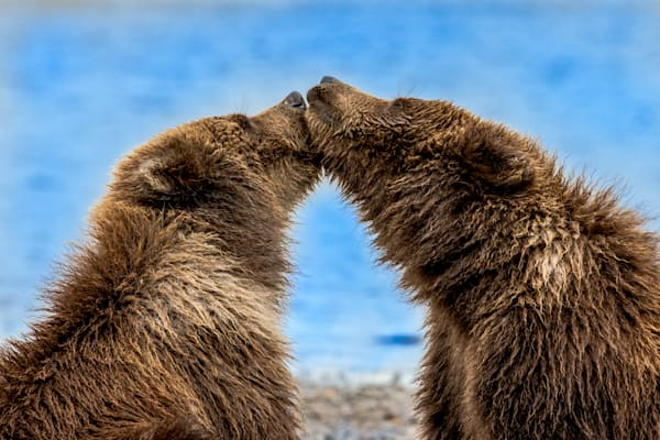 Bear Kisses Photography Art | Colorado Born Images