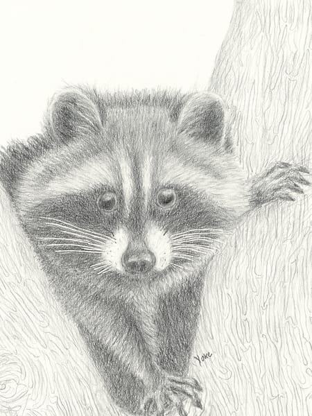 Young Racoon Visitor Photography Art | Nature's Art Productions